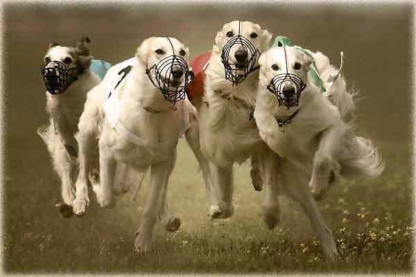 Performance Dog Racing in California